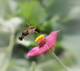 Humming bird moth  in flight