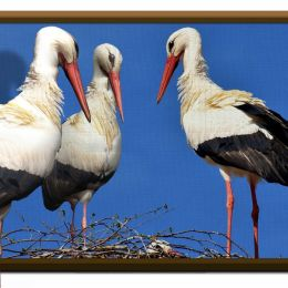 Three Dee storks Picture