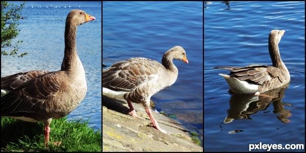 A goose going for a swim