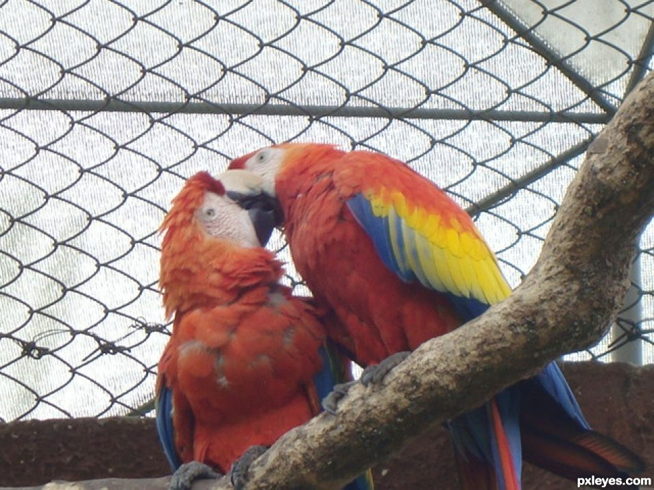 Birds kissing