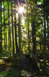 Deep Woods Morning