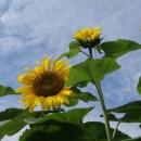 sunflower closeup photoshop contest