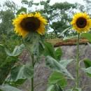 sunflowers photoshop contest