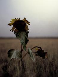 Witheredsunflowers