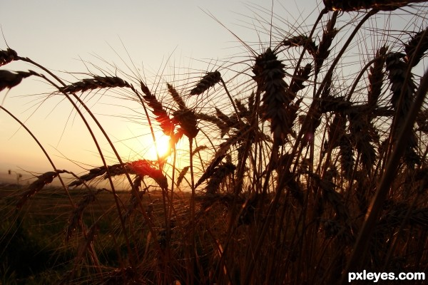 Sunset among wheat
