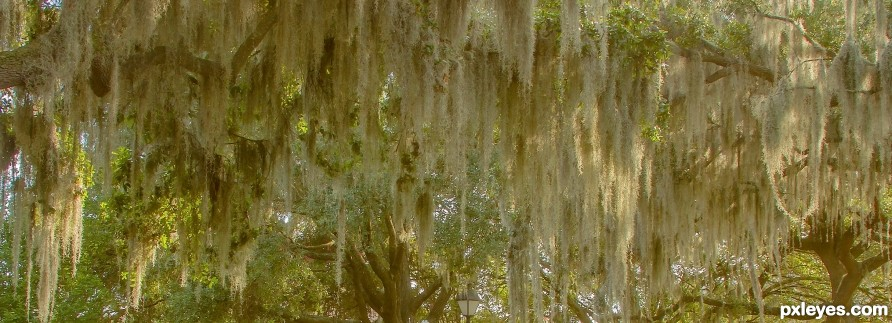 Spanish moss in an oak tree