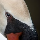 swan closeup source image