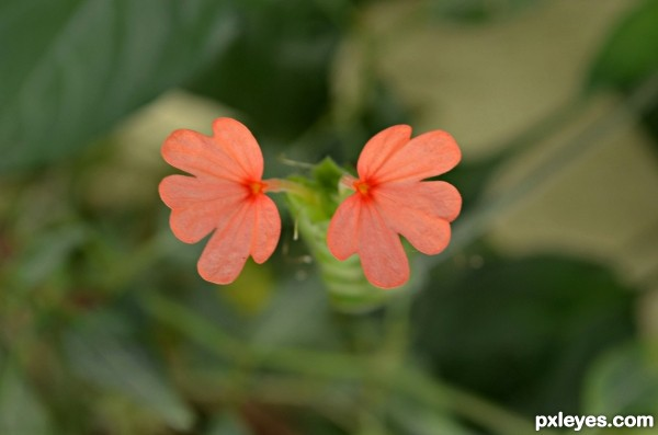 Crossandra Flower (Hindi - Aboli)