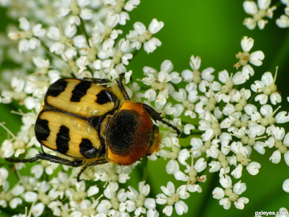 T for Trichius fasciatus