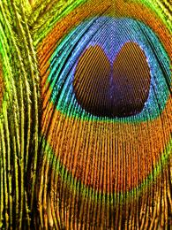 Peacock feather Picture