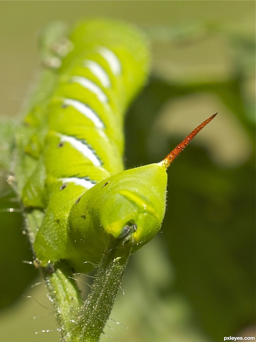 Tomato worms red tail photography picture