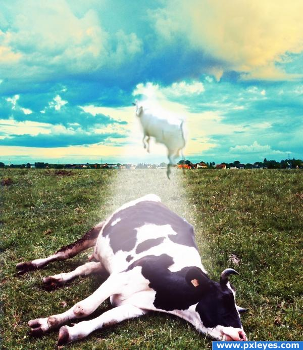 Cow to heaven!