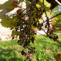 driedgrapes