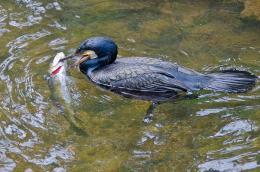 Cormorantfishing