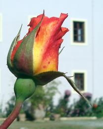 multicolorrose