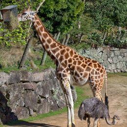 GiraffeandOstrich