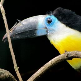 Tucan Picture