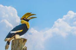 Double Hornbill