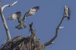 Ospreys preparing a nest
