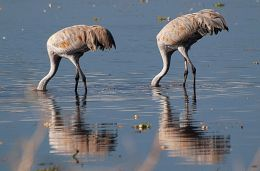 Feeding Sandhill Cranes