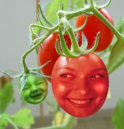 TomatoTot