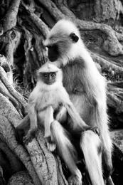 MonkeysinIndia