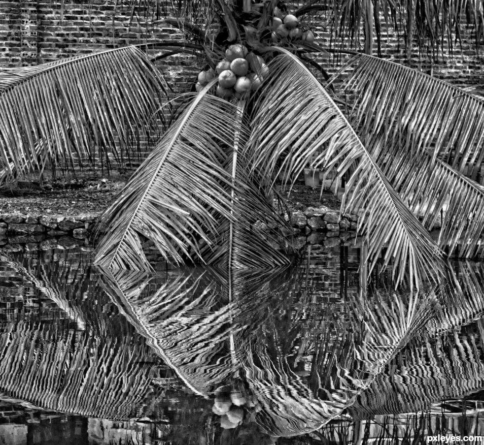 Coconut Tree Reflections
