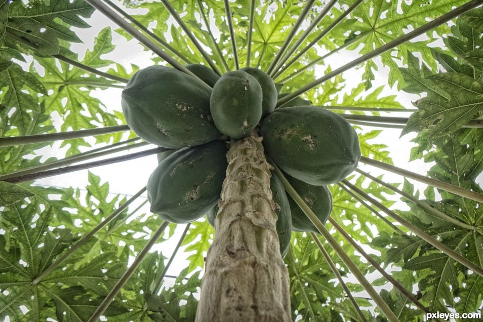 Papaya Tree Explosion