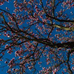 MagnoliasinBloom
