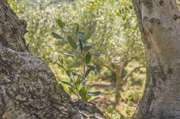 In olive grove