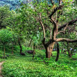 Cashewtree