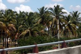 Coconut Trees at NH 8 India