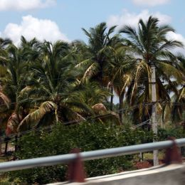 CoconutTreesatNH8India
