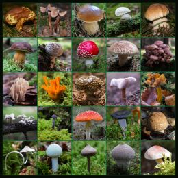 So many mushrooms Picture