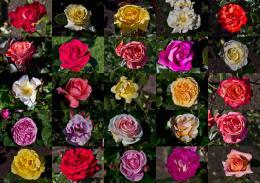 25 varieties of Roses