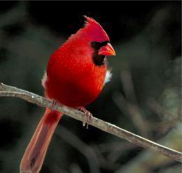 red apple bird