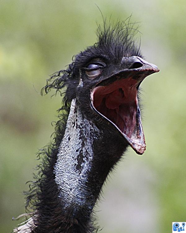 Emu photoshop picture