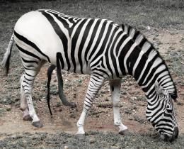 White Zebra with Black Strips