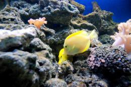 yellow couple fish