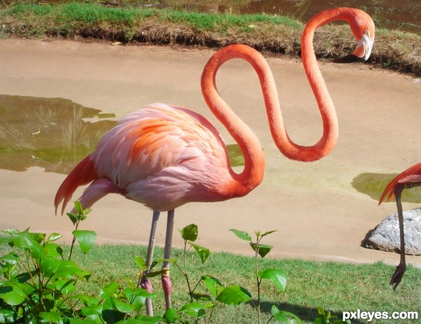Flamingo photoshop picture)