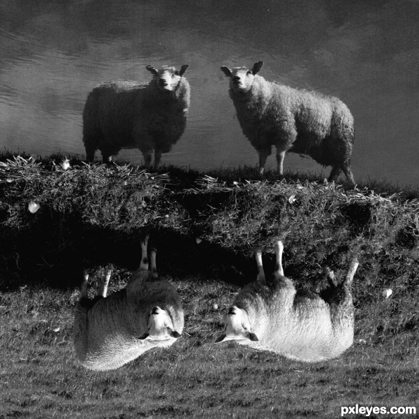 4 Sheep