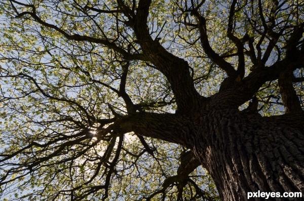 Old apple-tree