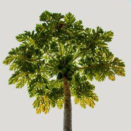 Papaya Tree Picture