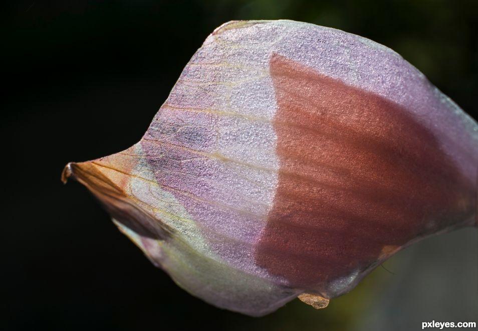 Onion peel beauty