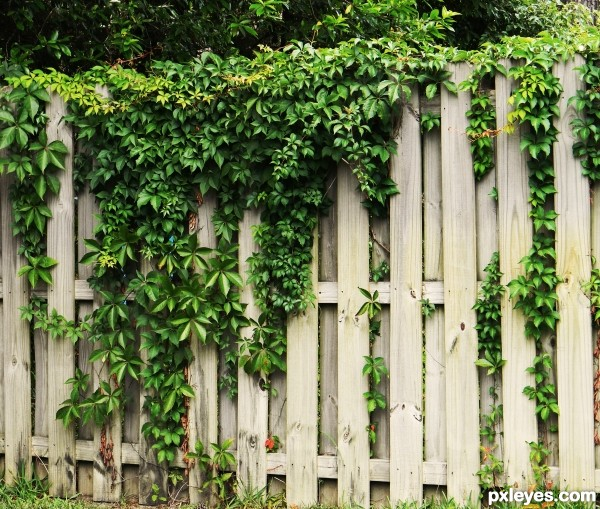 beautiful fence cover picture by rbsgrl for vines photography contest. Black Bedroom Furniture Sets. Home Design Ideas