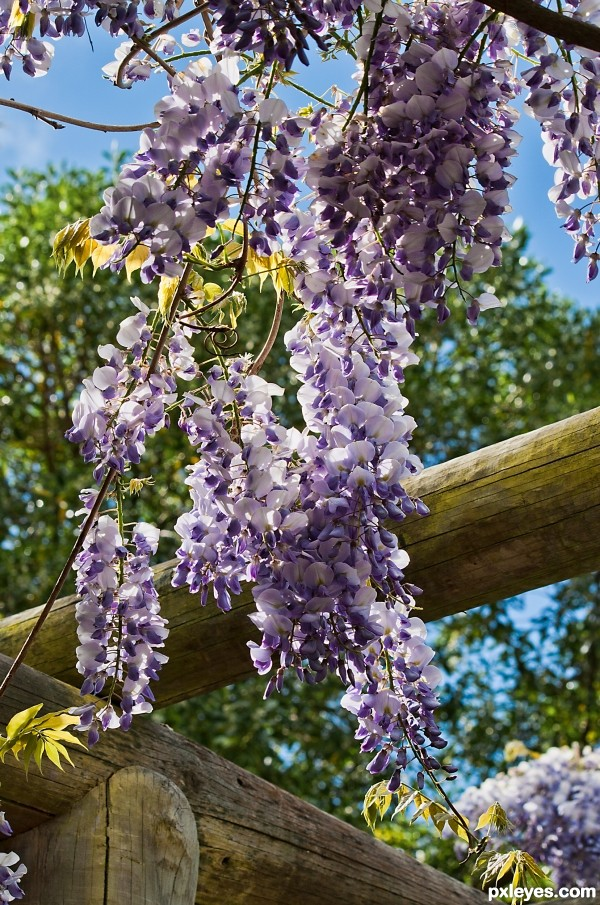 Wisteria photoshop picture)