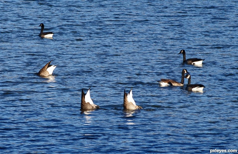 Goose Butts