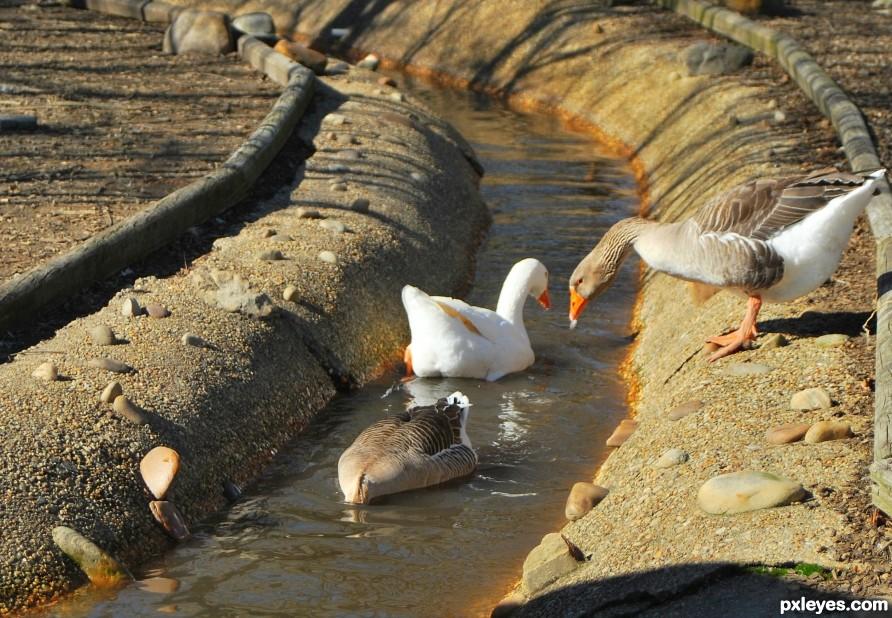 A Duck in a Ditch
