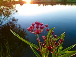 Asclepias Picture