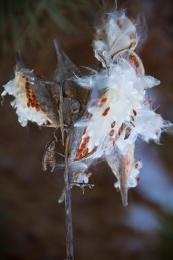 milkweedpods